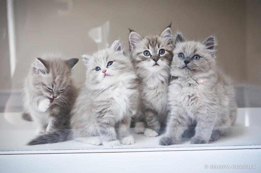 Zelkova Ragdolls   Charlotte NC Kittens White Kitten With Blue And Green Eyes